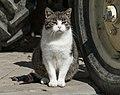 2017 Kot domowy 2.jpg