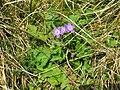 2018-08-29 (192) Geranium sylvaticum (woodland geranium) at Rax, Austria.jpg