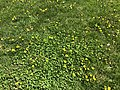 2019-04-20 12 15 16 Lawn with clover and dandelions along Hidden Meadow Drive in the Franklin Farm section of Oak Hill, Fairfax County, Virginia.jpg