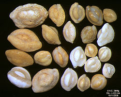 meaning of foraminifera