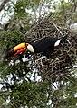 6371 Pantanal toucan JF.jpg