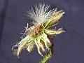 A.integrifolia-cap.-5b.jpg