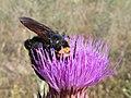AVISPÓN (Megascolia maculata flavifrons) hembra ♀ (5841273138).jpg