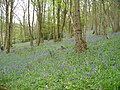 A Carpet of Bluebells in Calder Vale Woods. - geograph.org.uk - 791190.jpg
