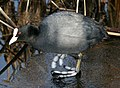 A Coot on the Grantham Canal - geograph.org.uk - 1671969.jpg