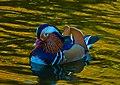 A Drake Mandarin Male Duck.jpg