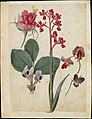 A Sheet of Studies of Flowers- A Rose, a Heartsease, a Sweet Pea, a Garden Pea, and a Lax-flowered Orchid MET DT5659.jpg