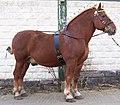 A Suffolk stallion.jpg