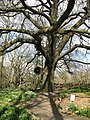 A Turkey Oak at Warley Place - geograph.org.uk - 1231107.jpg