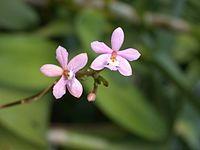 A and B Larsen orchids - Epidendrum ibaguense DSCN5007.JPG