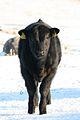 A black calf in Ireland.jpg
