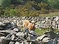 A calf at Llwyncoed Farm - geograph.org.uk - 797816.jpg