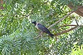 A crow sitting on Tree's branch for searching his food.jpg