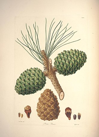 Pinus mugo - Botanical illustration of Pinus mugo