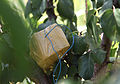 A detonation device for an improvised explosive device is found in a tree by U.S. Soldiers with the 323rd Combat Engineer Company, Spartanburg, S.C., in the Sarkani district of Kunar province, Afghanistan 100828-A-TH742-004.jpg