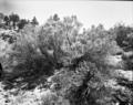 A large sage brush. Exhibit 19. ; ZION Museum and Archives Image ZION 14965 ; ZION 14965 (c2db78f0975b4a6b8ebb933bbd520f20).tif