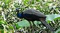A peafowl.jpg