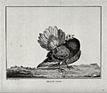 A pigeon standing on a rocky patch. Etching by C. M. Fessard Wellcome V0020581.jpg