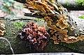 A very oldTremella foliacea (Bruine trilzwam) under a Stereum gausapatum (Bleeding Oak Crust, D= Eichenschichtpilz or Zottiger Eichenschichtpilz, F= Stérée duveteuse, NL= Eikenbloedzwam) at Posbank - panoramio.jpg