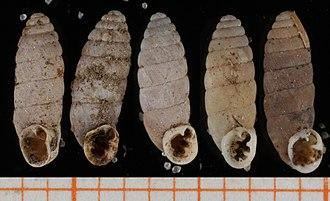 Abida pyrenaearia - Five shells of Abida pyrenaearia   scale bar in mm