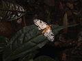 Abraxas sp. (Ennominae) from West-Javan lower mountain rainforest (8372985369).jpg