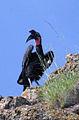 Abyssinian Ground-hornbill, Lake Langano, Ethiopia, 2004-10-29-2.jpg