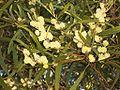 Acacia heterophylla (flowers).JPG
