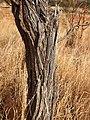 Acacia sericophylla bark.jpg