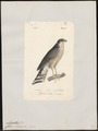 Accipiter nisus - 1842-1848 - Print - Iconographia Zoologica - Special Collections University of Amsterdam - UBA01 IZ18300069.tif
