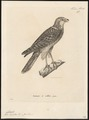 Accipiter torquatus - 1700-1880 - Print - Iconographia Zoologica - Special Collections University of Amsterdam - UBA01 IZ18300127.tif