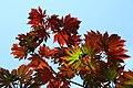 Acer japonicum 'Aconitifolium' JPG1a.jpg