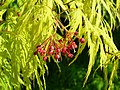 Acer palmatum 005.JPG