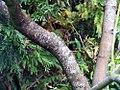 Acer palmatum 4zz.jpg
