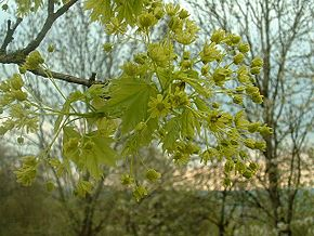 Description de l'image  Fichier:Acer platanoides2.jpg .
