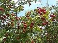 Acerolas, cerezas de pastor, Crataegus azarolus.JPG
