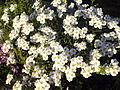 Achillea ageratifolia 2.jpg