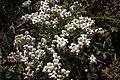 Achillea nana, Valgrisenche - img 23270.jpg
