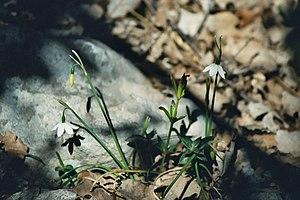 Acis (plant) - Image: Acis fabrei