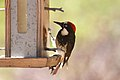 Acorn Woodpecker inspects the bird feeder.jpg