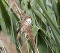 Acrocephalus scirpaceus ahisgett1.jpg