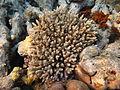 Acropora tenuis Maldives.jpg