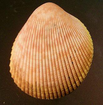 Cockle (bivalve) - Image: Acrosterigma cignorum 003