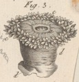 Actinia aster - - Print - Iconographia Zoologica - Special Collections University of Amsterdam - UBAINV0274 109 05 0027 (cropped2).tif