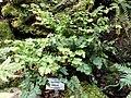 Adiantum tenerum - Botanischer Garten München-Nymphenburg - DSC08174.JPG