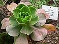 Aeonium nobile.jpg