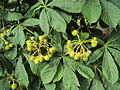 Aesculus hippocastanum malé plody.JPG