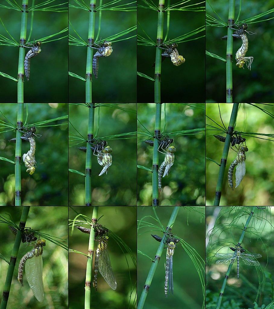 Premena larvy šidla modrého na dospelého jedinca
