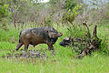 African Buffaloes (Syncerus caffer) (16507634768).jpg