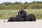 African elephants, Lake St Lucia 02.jpg