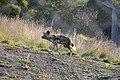 African wild dog (7660872082).jpg